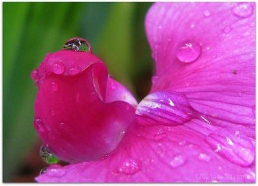 Pink Sweat Pea