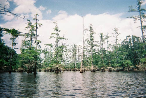 Western Kentucky is home of several bald cypress/tupelo swamps