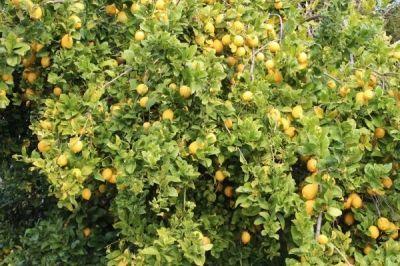 Lemon right off the tree for refreshing lemonade