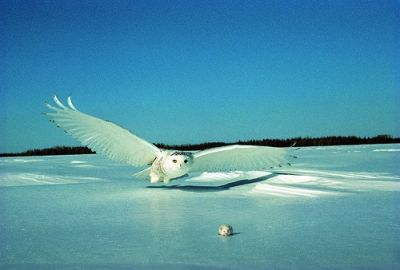Snowy Owl - I just love this image!