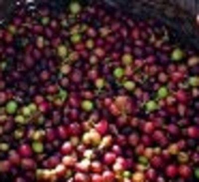 "Fresh picked coffee "" cherries"""