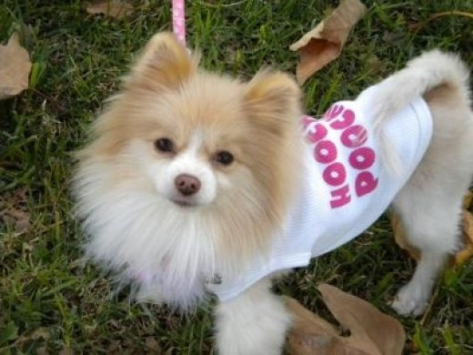 Tinker - My new little 4 pound Pomeranian rescue dog (My Hoochie Poochie as her shirt says..lol)