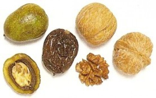 Walnuts: green, pickled and mature