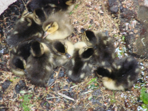 Down the storm drain are 10 tiny baby ducks that fell through the storm drain grate while crossing the street following Mama duck on the way to the nearby lake.  Mama duck was nearby quacking and squawking to us as loud as she could to rescue her bab