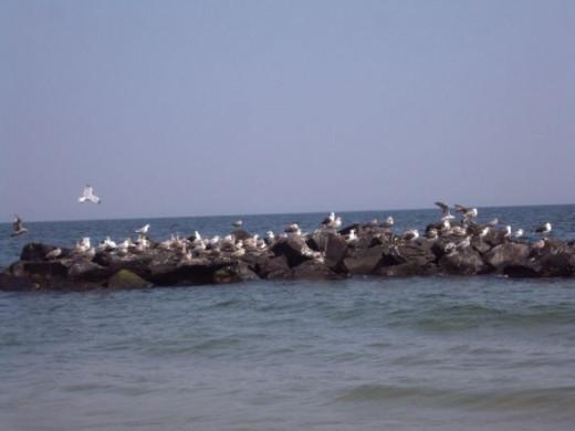 Jersey Sea Gulls