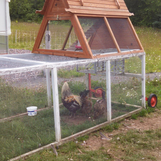 Chickens clucked and picked at the ground nearby in a movable coop, and the rooster crowed occasionally just in case we forgot we were on a farm.