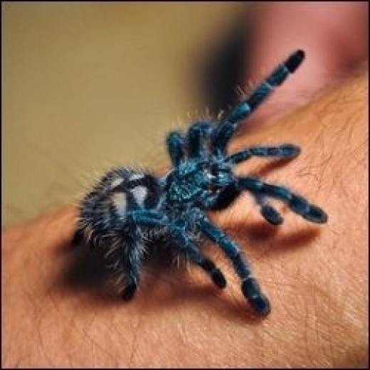 image credit - Avicularia versicolor - a colorful variety of the Peruvian Pink Toe photo by Chris Zielecki - This is actually a very young juvenile. They get much larger.