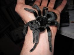 image credit - photo by Tarantulaland titled Grammostola pulchra tarantula after molt