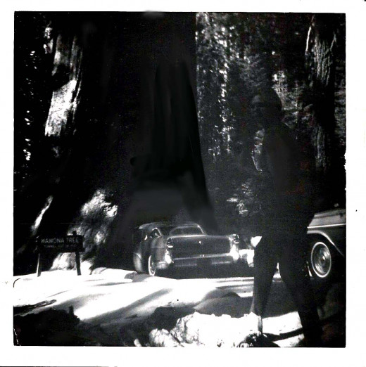 Another view of the old Buick going through the Wawona tree in 1967.