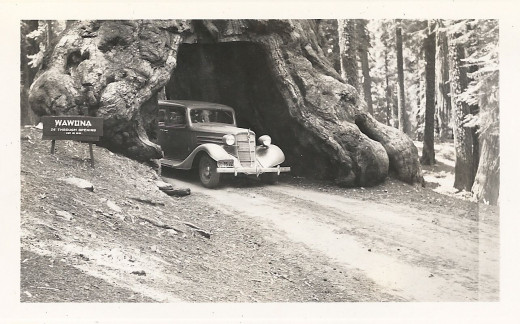 Wawona Tree, family car in 1940.