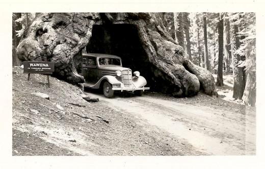 Wawona Tree, 1940.