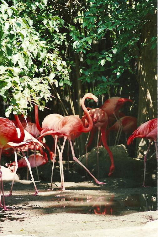 Flamingos at the local zoo.