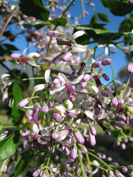 Chinaberry blooms in Spring and smells sweet.  From Florida Natives blog.