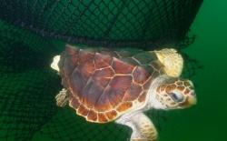 Loggerhead Turtle Escaping net