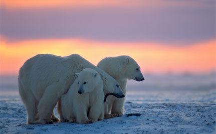Care 2 - Polar Bears