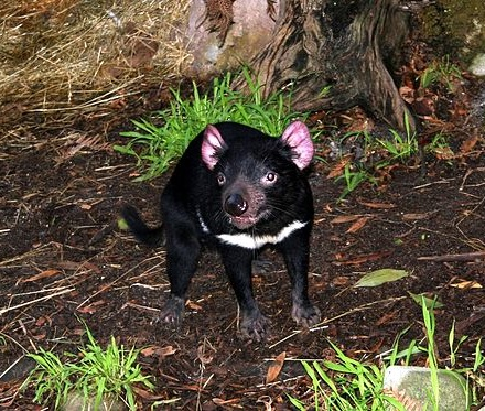 This little devil almost seems to be posing for the camera! http://commons.wikimedia.org/wiki/File%3ATasmanian_Devil.jpg