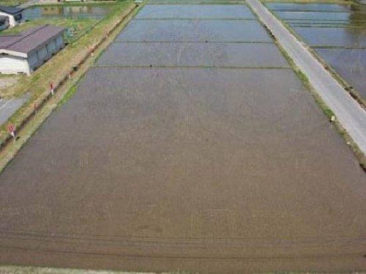As the rice begins to grow, you can barely make out a difference in the color.