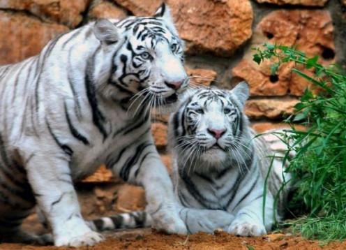 Tigers at Haifa Zoo, Israel.