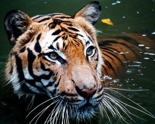Water tiger.