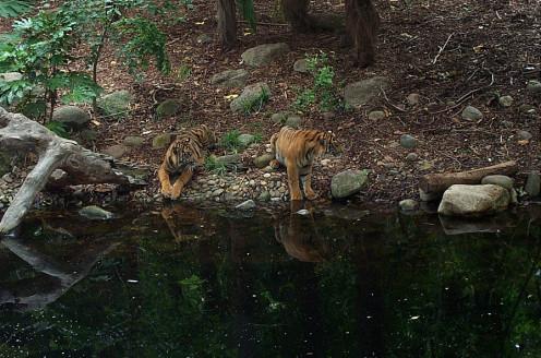 Sumatran Tigers at Melbourne Zoo,