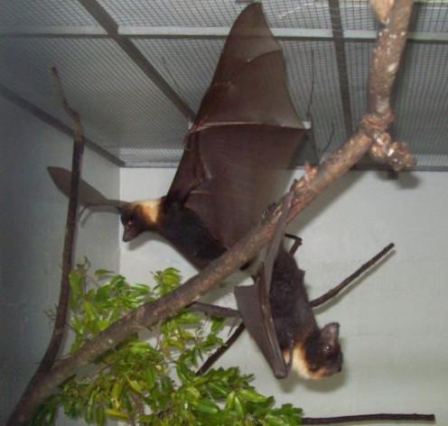 Fijian fruit bat.