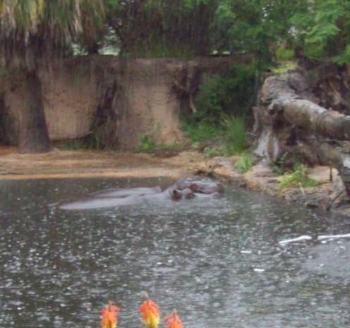 Hippos in the rain.