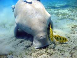 Save The Endangered Dugong
