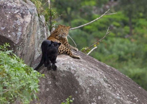 Black and Normal Leopards