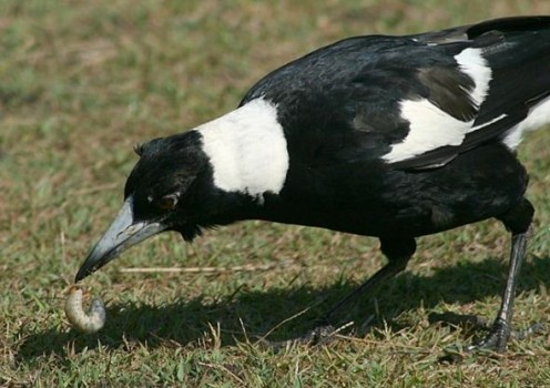 Magpie Eating