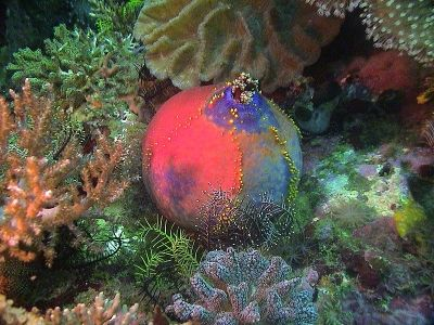 The Sea Apple - strange, ornamental creature