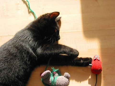 Cat with toys