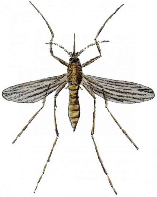 Adult Mosquito