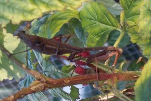 Brown mantis.