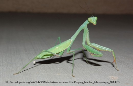Isn't this a great shot of a mantis?