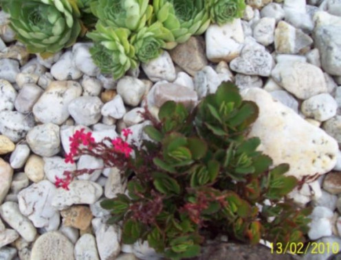 Red Succulent. Image by Snakesmum