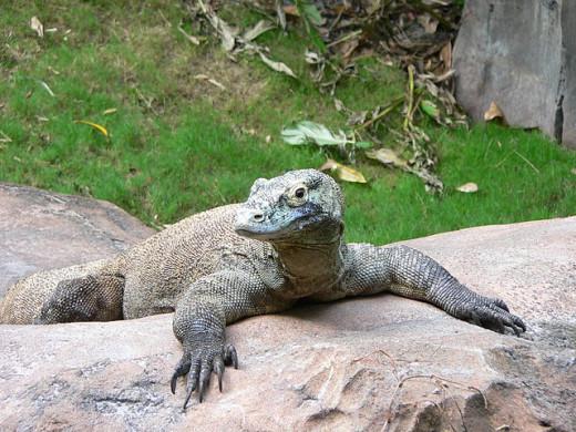 Komodo dragon.   http://commons.wikimedia.org/wiki/File%3AVaranus_komodoensis5.jpg