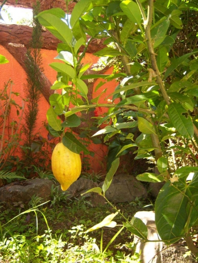 Big lemon at the center of my home garden
