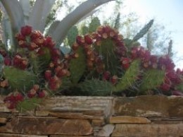 Prickly pear cactus full of fruit.