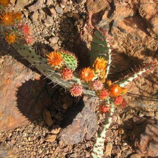 Prickly pear cactus with orange blooms.