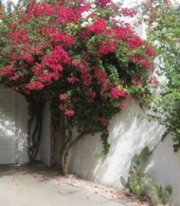 Bougainvillea against this white wall is gorgeous.