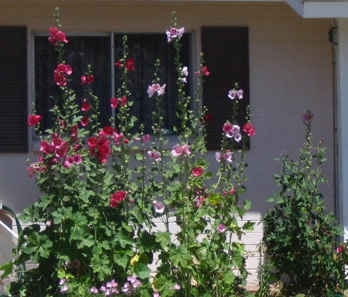 Hollyhocks -- I remember these from growing up in Illinois and love them!