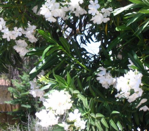 White Oleander.