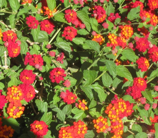 Red/orange and yellow lantana. I like this color variety the best!