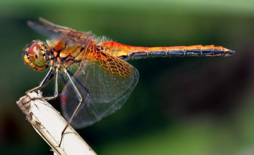 Yellow-winged Darter Dragonfly