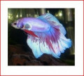 Minnesota Hobbies: Aquarium Life - Siamese Fighting Fish - Betta splendens