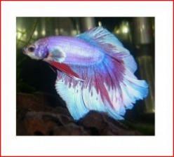 Minnesota Hobbies: Aquarium Life - Siamese Fighting Fish - Betta splendens