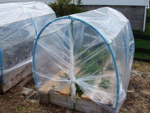 Polytunnel was made to fit on the raised beds. We used sturdy pvc pipes connected with garden stakes to support and strengthen the sides and top. We cover the whole structure with greenhouse plastic. This turned out to be an inexpensive but very prod