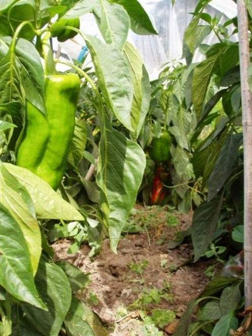 Last year we had only two small green peppers which went bad before they went red. This year we gave some away.