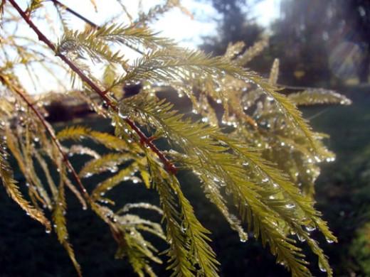 Rain on Bald Cypress