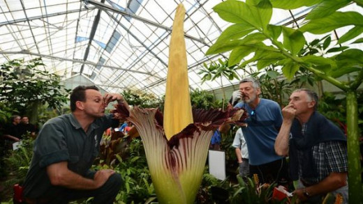 Corpse Flower in Melbourne